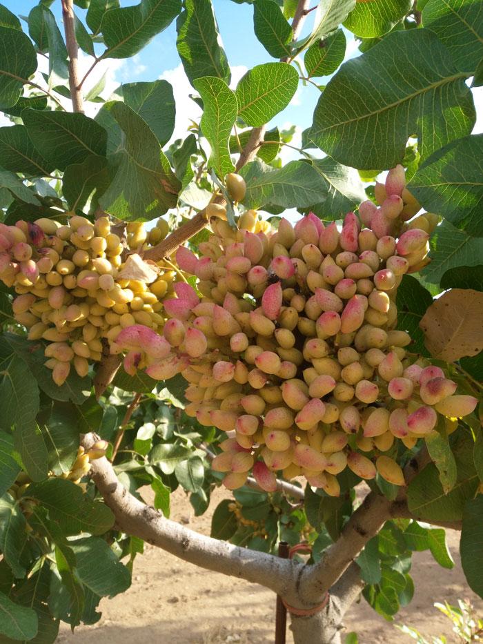 arbol-pistachos